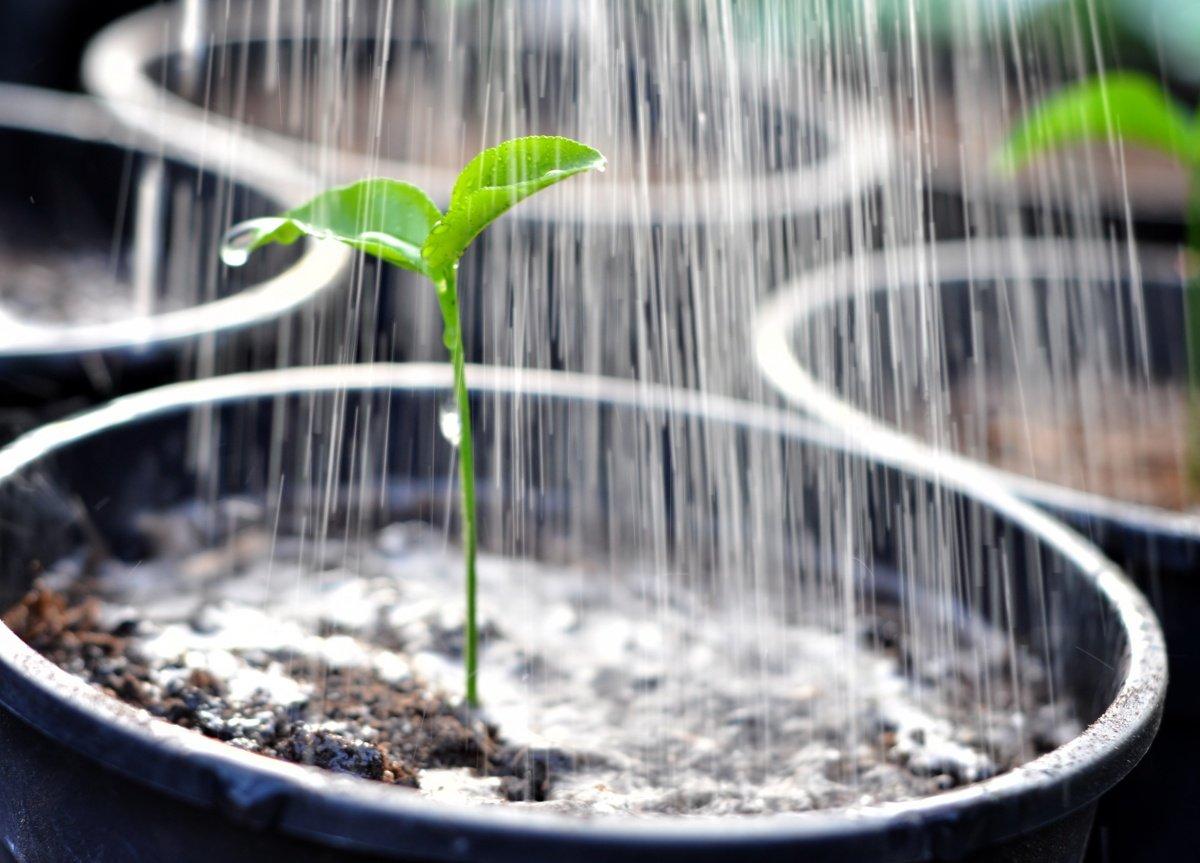 Как вырастить хорошую рассаду помидоров