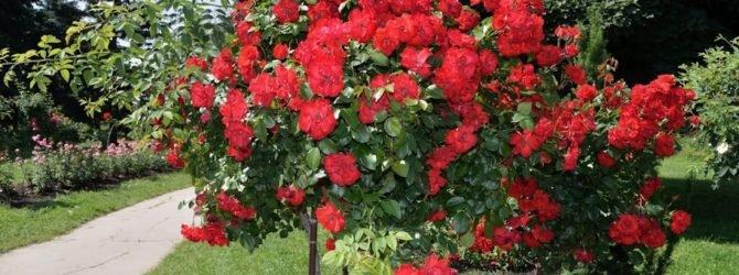 Всё о штамбовых розах: выбор, уход, зимовка