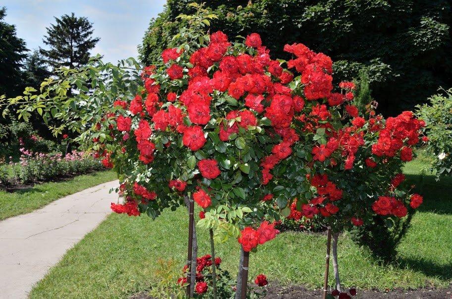Штамбовые розы (фото) покупка, посадка и уход