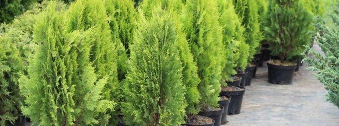 Как посадить елочку или хвойное растение.
