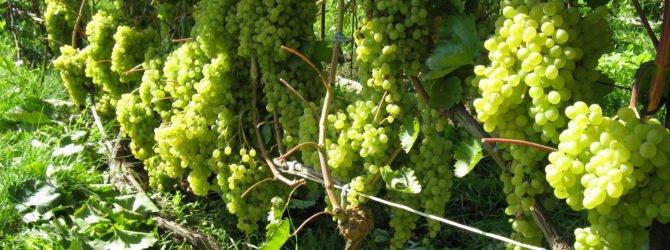 Выращиваем виноград — особенности ухода в условиях холодного климата