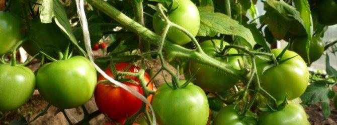 Выращиваем помидоры в условиях холодного климата