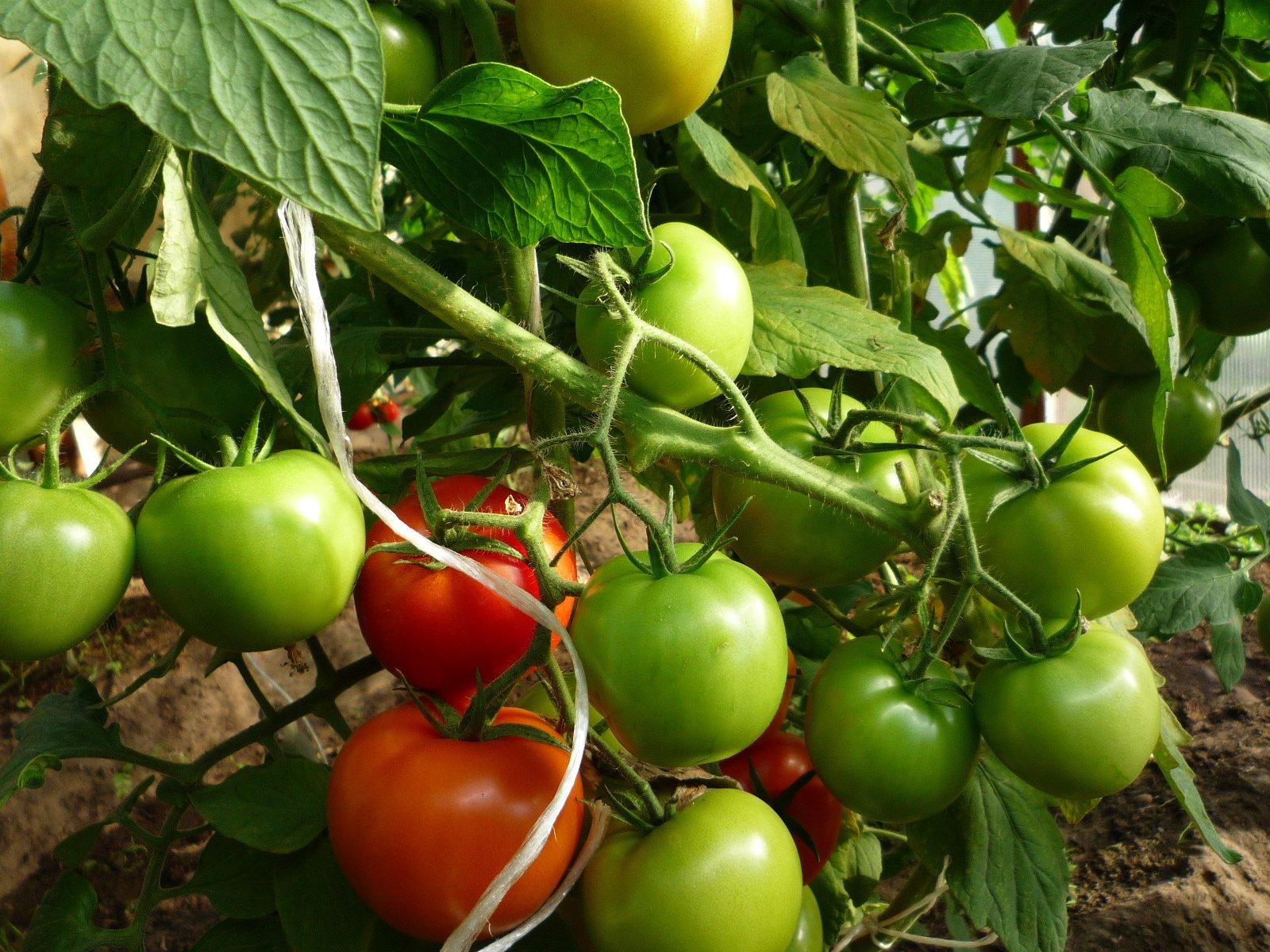 Картинки томатов в теплицах