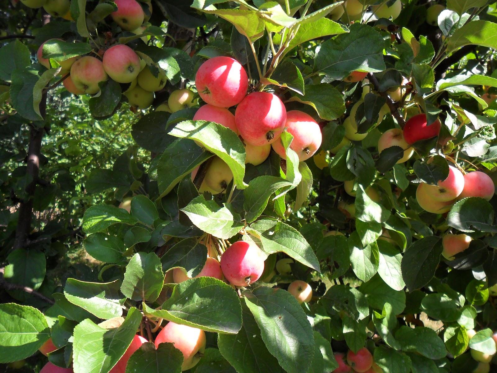 Почему яблоня плохо плодоносит?