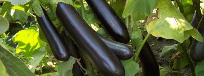 Как вырастить хорошие баклажаны