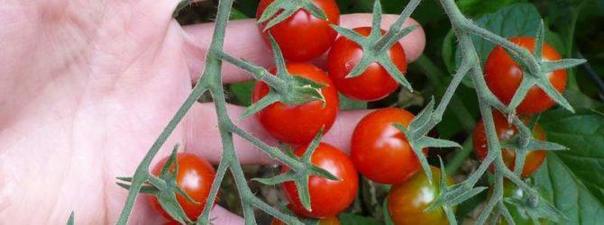 От чего зависит вкус томатов?