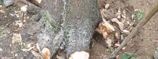 Как выкорчевать пень или дерево без усилий