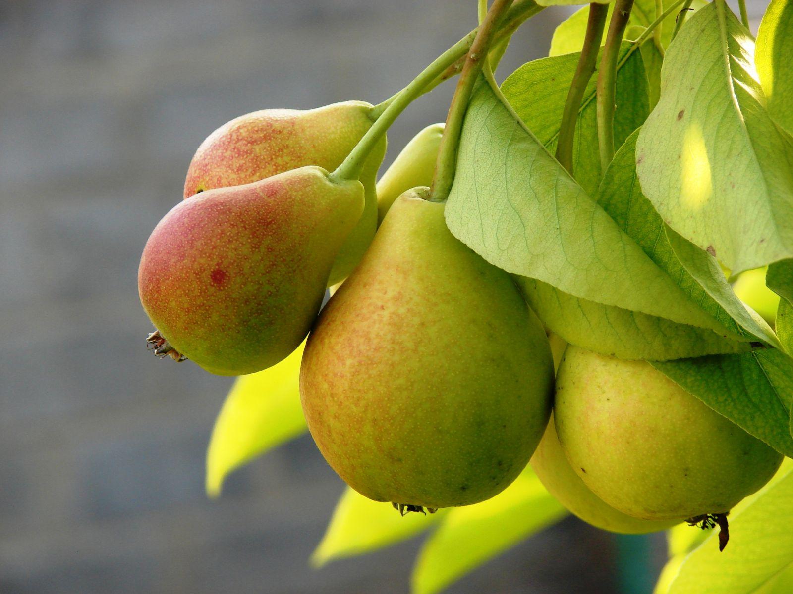 Как вырастить грушу на даче