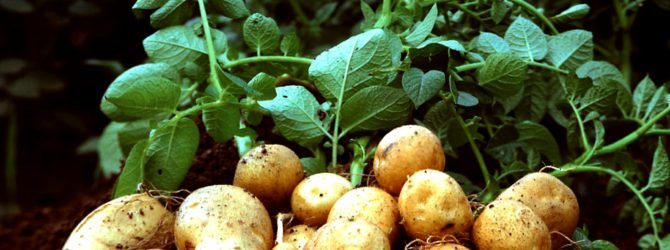 Как вырастить отличный картофель