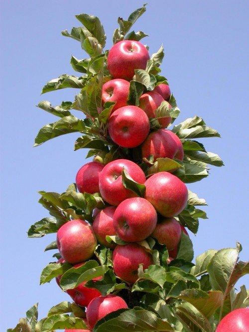 Колоновидная яблоня с плодами