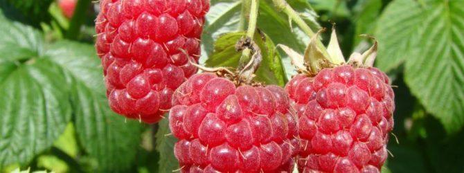 Розалин или розоволистная малина.