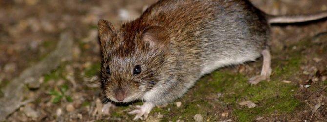 Избавляемся от мышей простыми методами