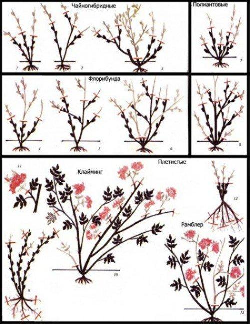 Обрезка различных видов роз