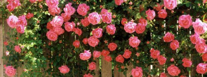 розы растущие в саду