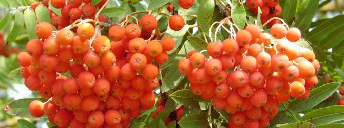 Рябина в саду: как вырастить