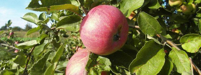 Прививаем яблоню: советы садоводам