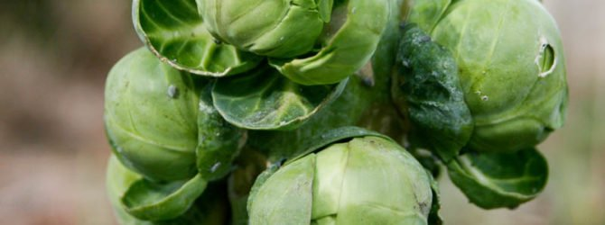 Особенности выращивания брюссельской капусты