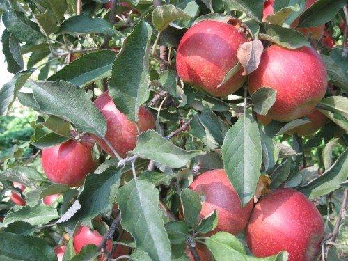 Листья и плоды яблони Веньяминовской