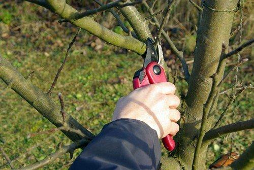 Обрезка слабых ветвей яблони