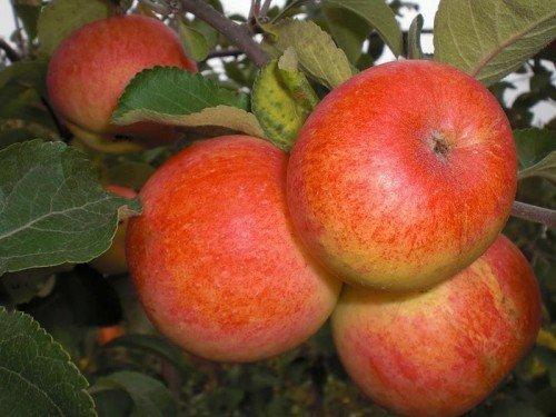 Плоды яблони Солнышко