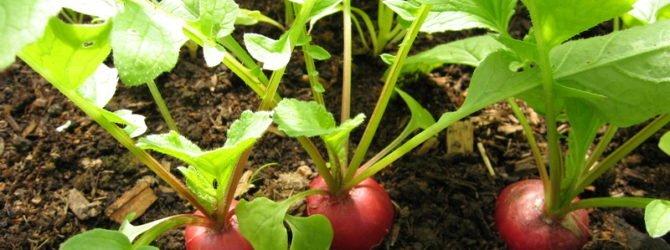 Сеем овощи зимой, чтобы получить ранний урожай