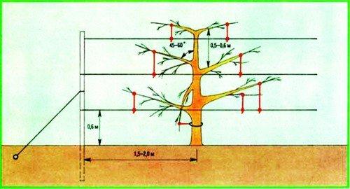 Схема подрезки карликовой яблони