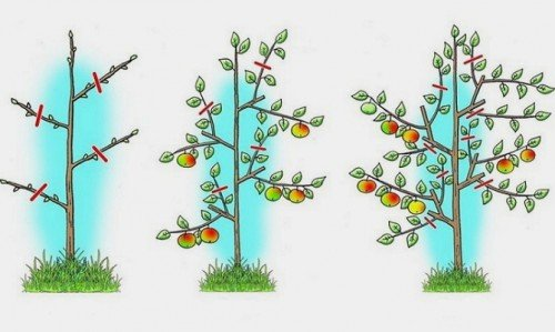 Схема подрезки колоновидной яблони