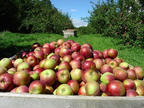Урожай с яблонь