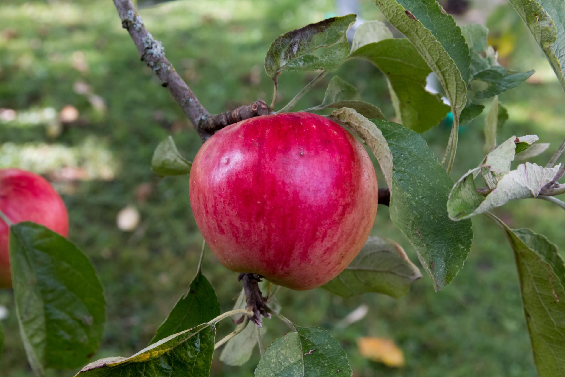 веньяминовское яблоня