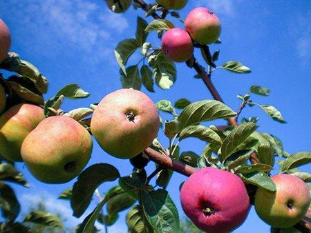 Ветка с плодами яблони Солнышко