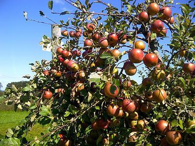 Ветки яблони Уэлси с плодами