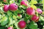 Ветвь яблони Рождественское с плодами