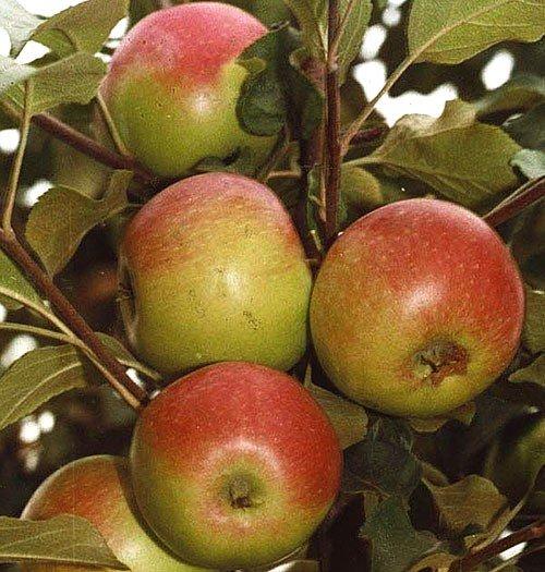Яблоки сорта Уэлси