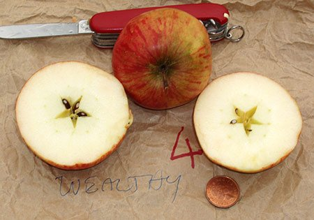 Яблоко сорта Уэлси в разрезе