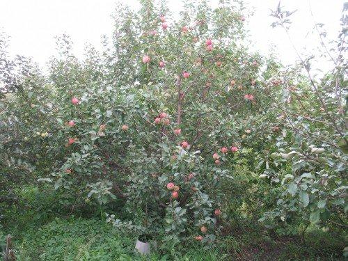 Яблоня сорта Солнышко