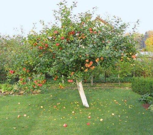 Яблоня сорта Уэлси