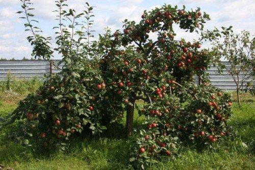 Яблоня сорта Веньяминовская