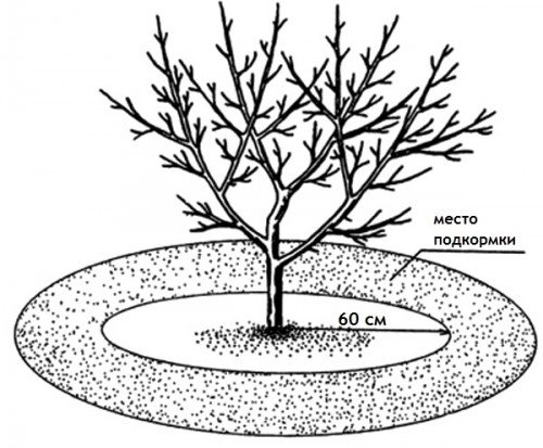 Схема внесения удобрения для яблони