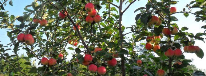 Чем удобрять вишню осенью для лучшего урожая