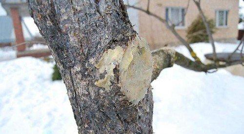 Замазанный спил яблоневой ветви