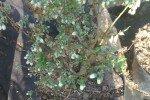 Сухие листья голубики
