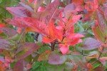Красные листья голубики