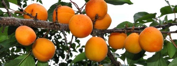 абрикос