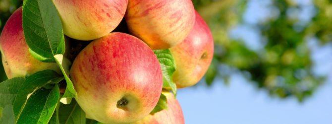 болезни яблок