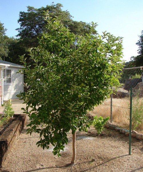 Дерево яблони сорта Антоновка