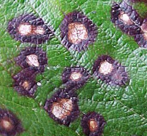 Двойная пятнистость листьев голубики