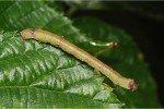 Гусеница пяденицы на листе