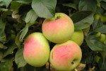яблоки Имрус