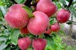 яблоки Кандиль Орловский