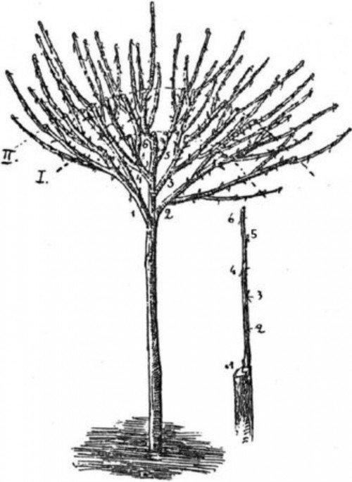 Крона штамбового крыжовника